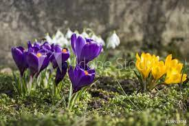 Obraz Krokusy w ogrodzie. Fioletowe i żółte. Pierwsze wiosenne kwiaty.,  fototapeta na ścianę - BajeczneObrazy.pl