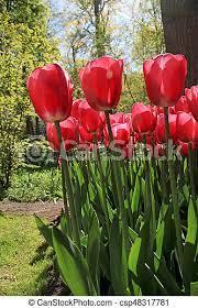 Tulipany, wiosna, ogród, czerwony, pole. Sezonowy, ogród, kasownik,  pionowy, wizerunek, wiosna, ognisko, shining., pole, | CanStock